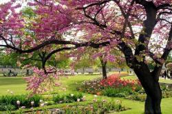 Printemps cerisiers en fleurs